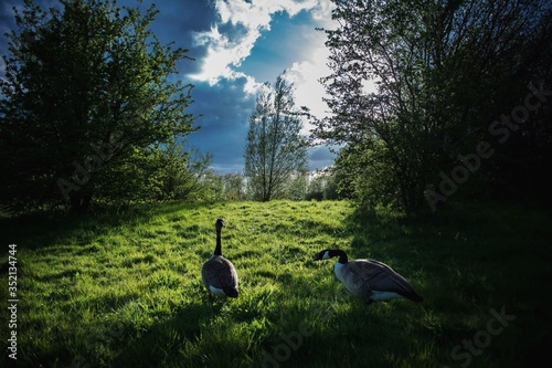 Obraz na płótnie View Of Ducks In Field