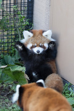 Close-up Of Red Panda In Cage
