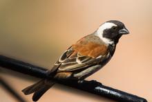 Cape Sparrow (Passer Melanurus...