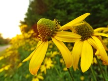 Close-up Of Yellow Coneflowers...