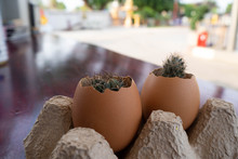 Cactus In An Eggshell Pot