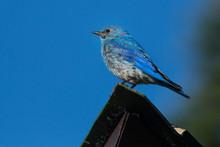 Close-up Of Mountain Bluebird ...