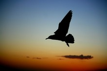 Close-up Of Silhouette Seagull Flying Against Sunset Sky