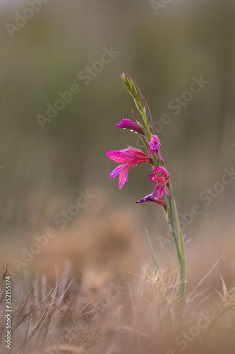 Fotografija Wild gladiolus in garrigue in  south of France