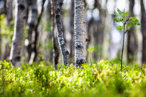 Slika na platnu Birch Trees And Plants Growing In Forest