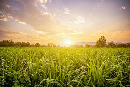 Sunset with small sugar plant in farm Fototapeta