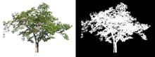 Isolated Single Tree On White ...