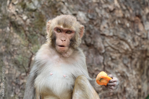 Adult rhesus macaque (Macaca mulatta) sits near the tree in Swayambhunath Stupa area and holds carrot in his paw Wallpaper Mural