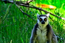A Lemur Looks Directly Into Th...