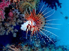 Red Lionfish Swimming In Sea