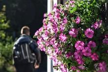 Petunia Flowers Blooming Against Man Walking By Wall