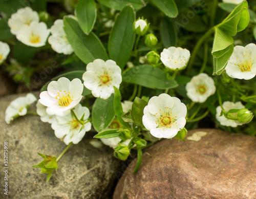 White Cinquefoil (Potentilla alba) flowers Slika na platnu