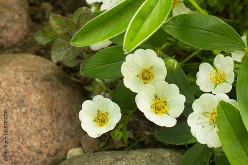 Fotografija White Cinquefoil (Potentilla alba) flowers