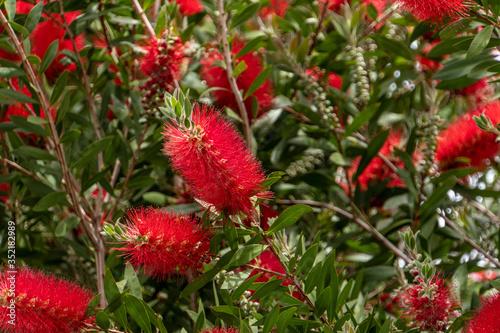 Fotografija Scarlet bottlebrush