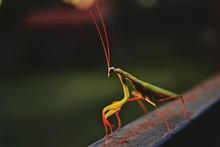 Close-up Of Praying Mantis On Railing
