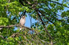 Long Eared Owl Sitting On A Tree Asio Otus.