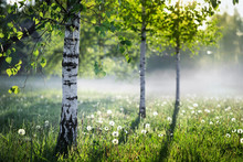 Beautiful Nature Landscape With Birch Trees Grove In The Morning Fog.