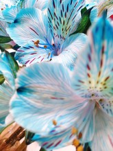 Close-up Of Blue Tiger Lilies Blooming Outdoors