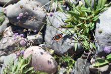 Beautiful Amiral Butterfly In Scandinavian Landscape