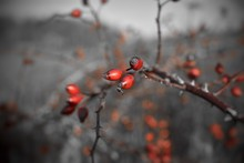 Close-up Of Rosehips Growing On Tree