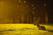 Side View Of A Deer Relaxing On Landscape