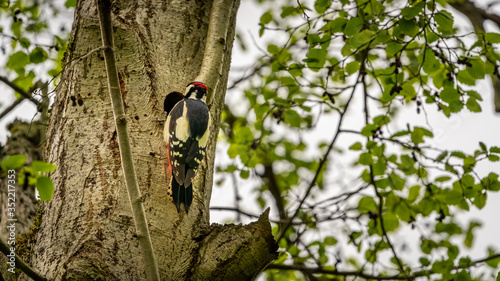 Woodpecker on the tree near the hollow with еру younglings Fototapeta