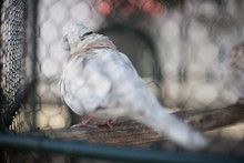 Close-up Of Pigeon In Cage
