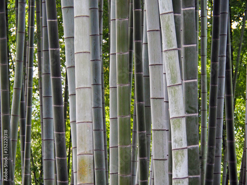 Full Frame Shot Of Bamboos Growing In Forest Poster Mural XXL