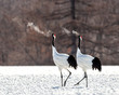 canvas print picture - Two Japanese cranes are walking together in the snow and scream mating sounds. Frost. There is steam from the beaks. Japan. Hokkaido. Tsurui.