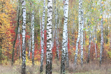 Fototapeta Brzoza beautiful scene with birches in yellow autumn birch forest in october among other birches in birch grove