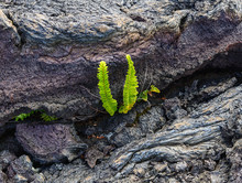 Green Plant Growing In A Crack In Colored Dry Lava