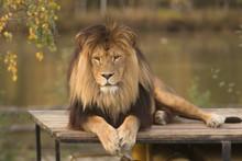 Mannetjes Leeuw Ligt Op Het Dak Te Relaxen In De Beekse Bergen. Relaxing Male Lion.
