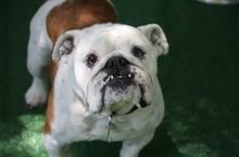 Portrait Of English Bulldog On Grass