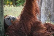 Orangutan Resting On Field
