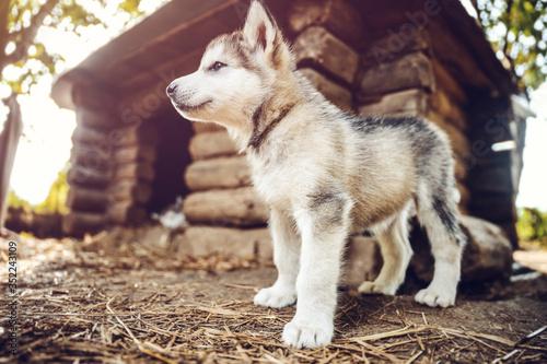 Photo cute puppy alaskan malamute run on grass garden