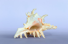 Ramose Murex Shell Upside Down View On A Neutral Background