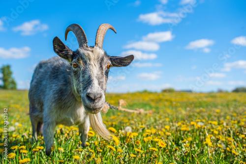 A goat grazes on a field of dandelions Canvas Print