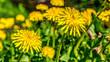 Mlecz polny (Sonchus arvensis L.) – gatunek rośliny z rodziny astrowatych