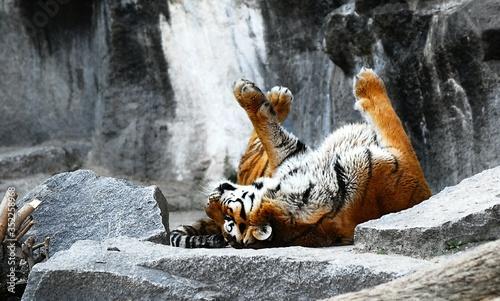 Fotografia Tiger Resting On Rock