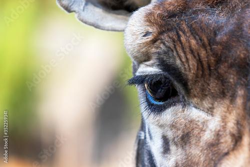 Rothschild's Giraffe - Giraffa camelopardalis rothschildi - head portrait eye detail Canvas Print