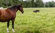 Lezacy kon na pastwisku. Hodowla koniu. Ssaki nieparzsto kopytne. Czarna konska grzywa.  Dwa konie. Wypoczywajacy kon. Piekne zwirzeta.  Konie na wybiegu.