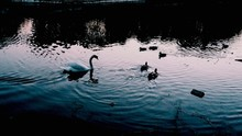 Swan And Ducks Swimming In River