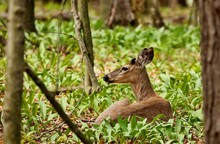 White Tailed Deer .Young Deer With Growing Antlers Lying In A Wild Garlic In State Park In Wisconsin.