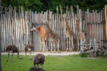 4 Rothschildgiraffen (Giraffa ...