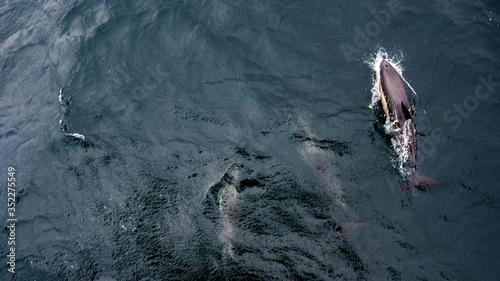Dauphins en mer au large accompagnant un bateau Canvas Print