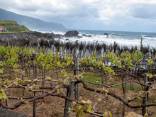 Vineyard Next To The Ocean On The North Coast Of Madeira. Portugal