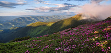 Spring Scenery. Panoramic View In Lawn Are Covered By Pink Rhododendron Flowers. Beautiful Photo Of Mountain Landscape. Concept Of Nature Rebirth. Blue Sky With Cloud.