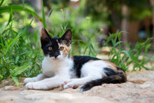 A Three-color Black-and-white-red Kitten Lies On A Grass Path And Looks Into The Frame
