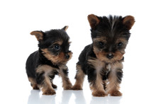 Team Of Two Yorkshire Terriers...