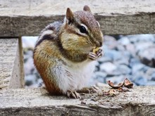 Close-up Of Chipmunk Eating Nut